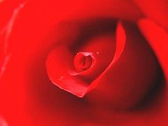 Red Rose (Gail Hicks) Tags: flowers floral rose garden themered