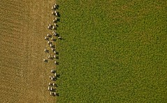 sheep from the sky (Mat.) Tags: plants hot deleteme landscape sheep savedbythedeletemegroup air flock balloon aerial saveme10 baa aerialphotography woolly organicarchitecture trefoils 86points mireasrealm thisoneissoooperfect ilovelions nolions