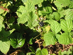 The first blackberry (historyanorak) Tags: autumn plant green nature landscape blackberry walk derbyshire growth growing bramble midlands canonixusv trentvalley historyanorak thehistoryanorak