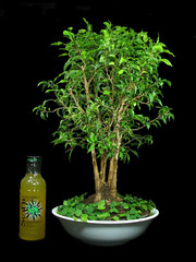 Ficus in a Microwave Food Cover