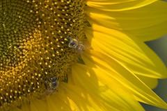Bees (darkmavis) Tags: flower macro close bee ape fiore supermacro sigmalens darkmavis sigma70300apomacrodg