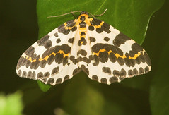 """The Magpie (abraxas grossulariata) Moth • <a style=""""font-size:0.8em;"""" href=""""http://www.flickr.com/photos/57024565@N00/192829106/"""" target=""""_blank"""">View on Flickr</a>"""