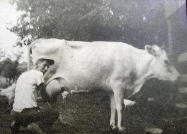 Daddy milking a cow 1949.