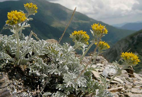 Grey Alpine Groundsel (Senecio incanus)