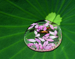 Petals in the Water (` Toshio ') Tags: pink flower color water leaves washingtondc dc washington petals bravo lily lotus aquatic toshio aquaticgarden
