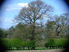 oak hedgerow treeDSCF5070
