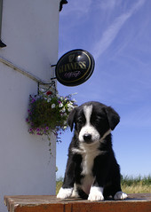 guinness under guinness sign (ChrisBrookesPhotography.co.uk) Tags: uk chris favorite dog house cute dogs
