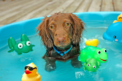Teddy's at a pool party (Doxieone) Tags: blue summer dog brown cute water pool yellow puppy fun toys duck long play teddy chocolate ducks dachshund frog frogs miscellaneous haired rubberduck mostpopular ggg longhaired ourdogs 400893 teddyset 177698040208 96332033108 2166134040308 23621520404 2669174040608 3448224040808 281618604072008 3563231041008 3837238041208 419525804015 4020255041308 43902690417 4504271042108 4695279042908 4655276042708 5163300053108 ddate pup2011 pupsinpoolset