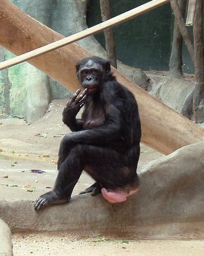 生殖器腫脹的雌性巴諾布猿