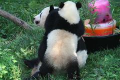 Fruitsicle face (somesai) Tags: zoo panda tai national endangered pandas taishan giantpandas dczoo butterstick pandasunlimited