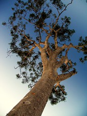 always remember to look up (joaobambu) Tags: wood blue brazil sky tree nature topf25 leaves topv111 azul brasil arbole leaf interestingness interesting branch angle branches natureza natur brasilien lookingup lookup pointofview gradient trunk growing arvore rvore baum entrerios brasile