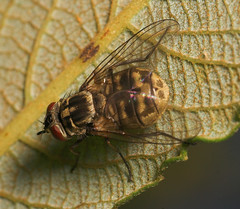 """Fat Fly 2 • <a style=""""font-size:0.8em;"""" href=""""http://www.flickr.com/photos/57024565@N00/201689569/"""" target=""""_blank"""">View on Flickr</a>"""