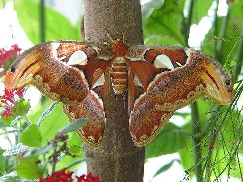 The Wild Silk Moths or Silkworm Moths