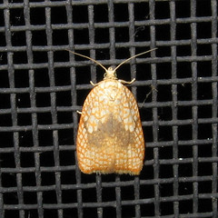 3501 Hairnet Acleris Moth, Acleris forskaleana 9mm IMG_2141_edited (Anita363) Tags: orange white june fauna insect newjersey small moth nj porch highlandpark dorsal 3501 bmna tortricidae tortricinae hairnetacleris aclerisforskaleana acleris