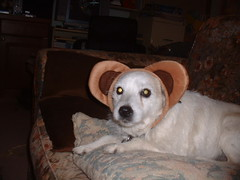 October14 008 (The Pipsqueak) Tags: dog pets puppy canine terrier jackrussell doggy puppydog