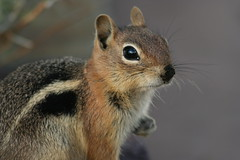 Golden-Mantled Ground Squirrel (dbcnwa) Tags: animal mammal rodent squirrel animalplanet goldenmantledgroundsquirrel specanimal