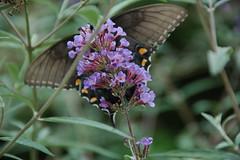 butterfly bokeh (capn madd matt) Tags: butterfly bush purple bokeh newglass bokehsoniceaugust bokehsoniceaugust11