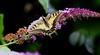 Swallowtail (RoryO'Bryen) Tags: swallowtail butterfly insects nature buddleia closeups simplebeauty wildlife flowers wings mariposa papillon farfalla roryobryen roarsthelion rory obryen stunning copyrightroryobryen