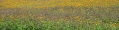 black-eyed susans (nanoq) Tags: flowers yellow blackeyedsusan fieldofflowers