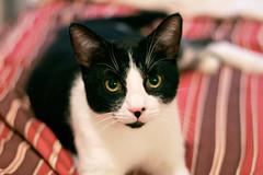 My boy Felix (Andrew Phelps) Tags: cat felix
