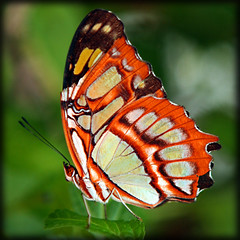 ready for takeoff (jaki good miller) Tags: red nature butterfly insect interestingness wings bokeh quality flight explore exploreinterestingness delicate jakigood patterned top500 explorepage explored explorepages specanimal specanimals butterflyset abigfave