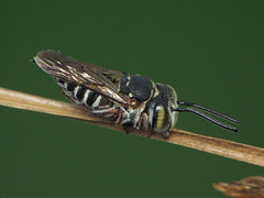 Coelioxys (Sean McCann (ibycter.com)) Tags: macro animals insects bugs s2is hymenoptera megachilidae coelioxys raynoxdcr250 ccrrfd animalkingdomelite