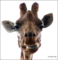 Giraffe: Keeping An Eye On You