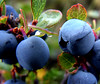 Blueberries (LaStef) Tags: blue iceland bravo blueberry oneyear blueberries kiss2 kiss3 kiss1 kiss4 Þelamörk kiss5
