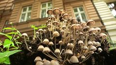 Pilze / Mushrooms / Champignons / Callampa / Schwammerl @ Fichtestr. 1 / 10967 Berlin / Deutschland / Germany / Allemagne / Alemania - by dr. motte
