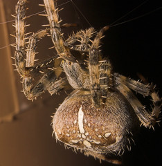 spider rhs-01 (ChrisBrookesPhotography.co.uk) Tags: uk chris macro topv111 wow garden ilovenature photography spider interestingness cool interesting fantastic minolta awesome creepy explore excellent 5d konica dynax flickrwow fwd brookes invertebrate rhs creepycrawly remoteflash d5d scoopt views200 animalkingdomelite cbrookes75 chrisbrookes flickrwilddiversity 36mmextensiontubes 18to70mmzoom httpwwwchrisbrookesphotographycouk