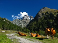 Cows on the way to the Viso (Fredww) Tags: france mountains alps alpes cow cows viso s2 queyras