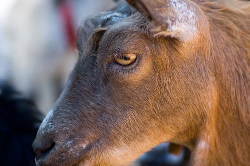 Ol' Goat Eyes