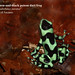 Green-and-black poison dart frog, Dendrobates auratus