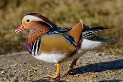 zDSC_7372 (Eyas Awad) Tags: eyasawad nikond800 nikonafs300mmf4 bird birds birdwatching wildlife nature anatramandarina aixgalericulata