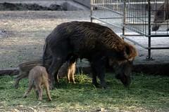 The wild boar family III (dididumm) Tags: family food feeding familie hungry piglet offspring runt wildschwein youngones suckling fressen wildboar füttern frischling nachwuchs säugling futter hungrig kümmerling singlemom alleinerziehend säugen winzling funnystripes lustigestreifen