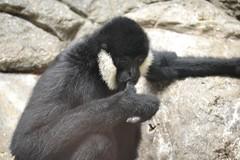 White Cheeked Gibbon, sucking on his thumb (kaysha54) Tags: chicago primate lincolnparkzoo suckingthumb whitecheekedgibbon