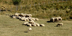 on reste ensemble (sabine-43) Tags: moutons hauteloire