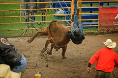 CalgaryPoliceRodeo2015-BullRiding-509 (calgarypolicerodeophotos) Tags: horse calgary race bareback sheep barrel police bull racing poker rodeo calf bullriding chute mutton saddle bronc steerwrestling barrelracing saddlebronc cpra chutedogging