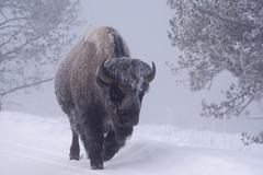 Bison (wietsej) Tags: yellowstone nature bison sonyalphadslr sony a77ii 77ii alpha sal70400g 70400 a77 mk2 wietsejongsma greaterphotographers