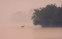 Whitetail Buck at sunrise (snooker2009) Tags: pink lake nature water fog sunrise pond wildlife foggy buck whitetail
