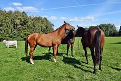 Pferde (mama knipst!) Tags: horse animal cheval weide natur cavallo pferd tier