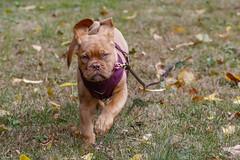 Harper, she is 13 weeks old now. (ThruKurtsLens.com (Kurt Wecker)) Tags: harper doguedebordeaux thrukurtslenscom kurtwecker