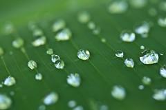 Banana leaf. (Kindle Girl) Tags: macro green canon garden botanical leaf waterdrop florida botanicalgarden