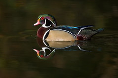 Male Wood Duck (mandokid1) Tags: canon waterfowl 5dmk111 sigma150600sport