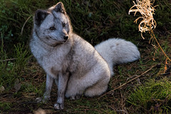 arctic fox - Fjellrev (Gjesdal.org) Tags: detail norway zoo nikon no clarity sigma os apo arctic fox dg kristiansand topaz dyreparken arcticfox lagopus vulpes hsm denoise d810 dyreparkenikristiansand vestagder f563 fjellrev vulpeslagopus 150500mm topazdenoise sigma150500mmf563apodgoshsm topazdetail topazclarity
