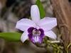 laelia dayana coerulea (Eerika Schulz) Tags: orchid orchids laelia orchidee dayana orchideen coerulea