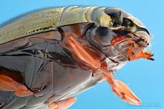 Whirligig beetle (Tamás Németh) Tags: gyrinus substriatus