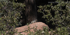 """Rock Squirrel • <a style=""""font-size:0.8em;"""" href=""""http://www.flickr.com/photos/63501323@N07/22817048039/"""" target=""""_blank"""">View on Flickr</a>"""