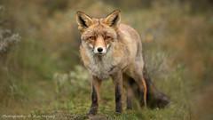 Eye to Eye (Alex Verweij) Tags: canon fox vos 200mm alexverweij