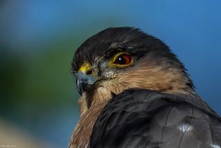 Raptor's gaze